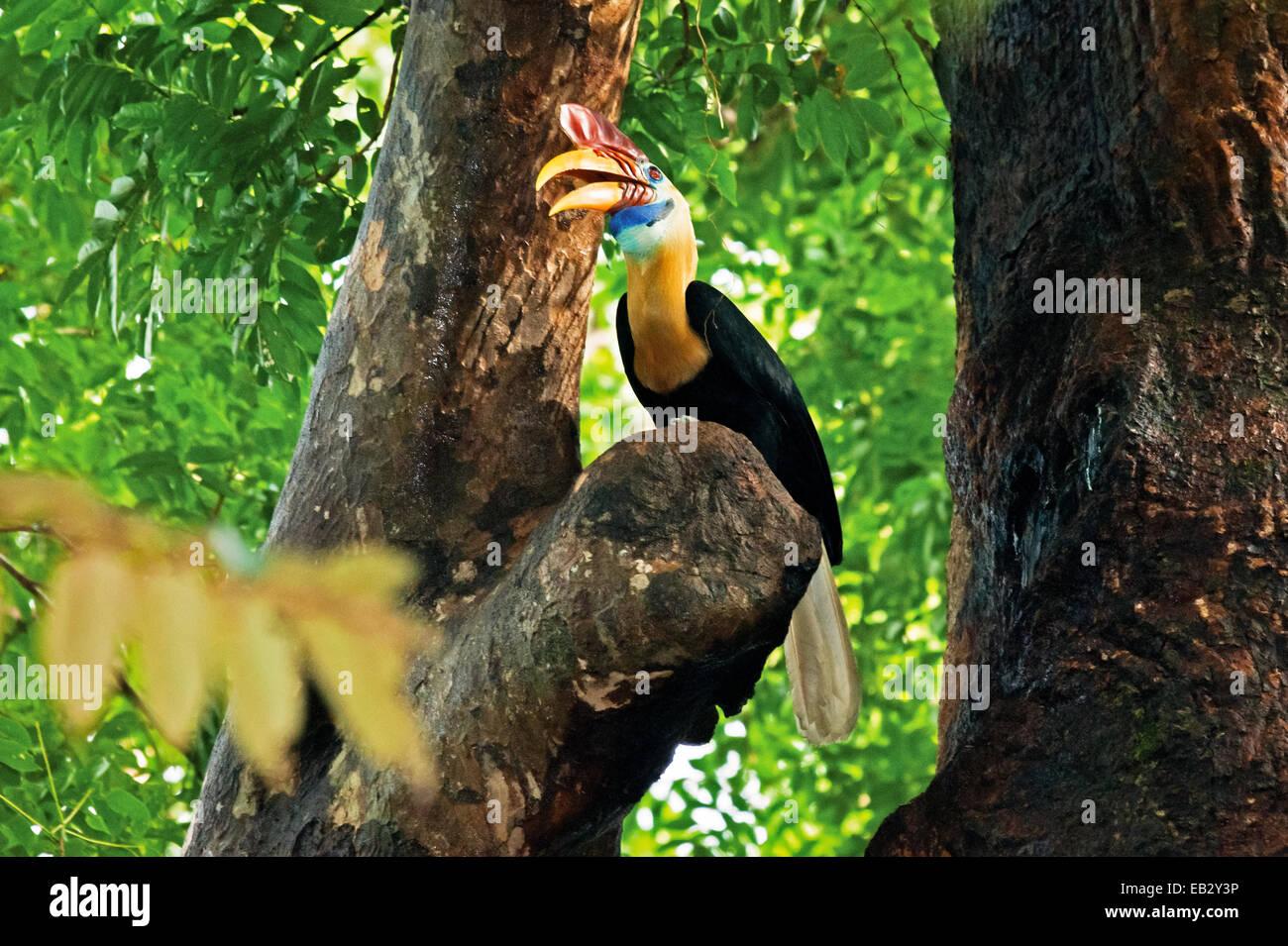 Sulawesi red-knobbed hornbill in Tangkoko Duasudara nature reserve. © Reynold Sumayku - Stock Image