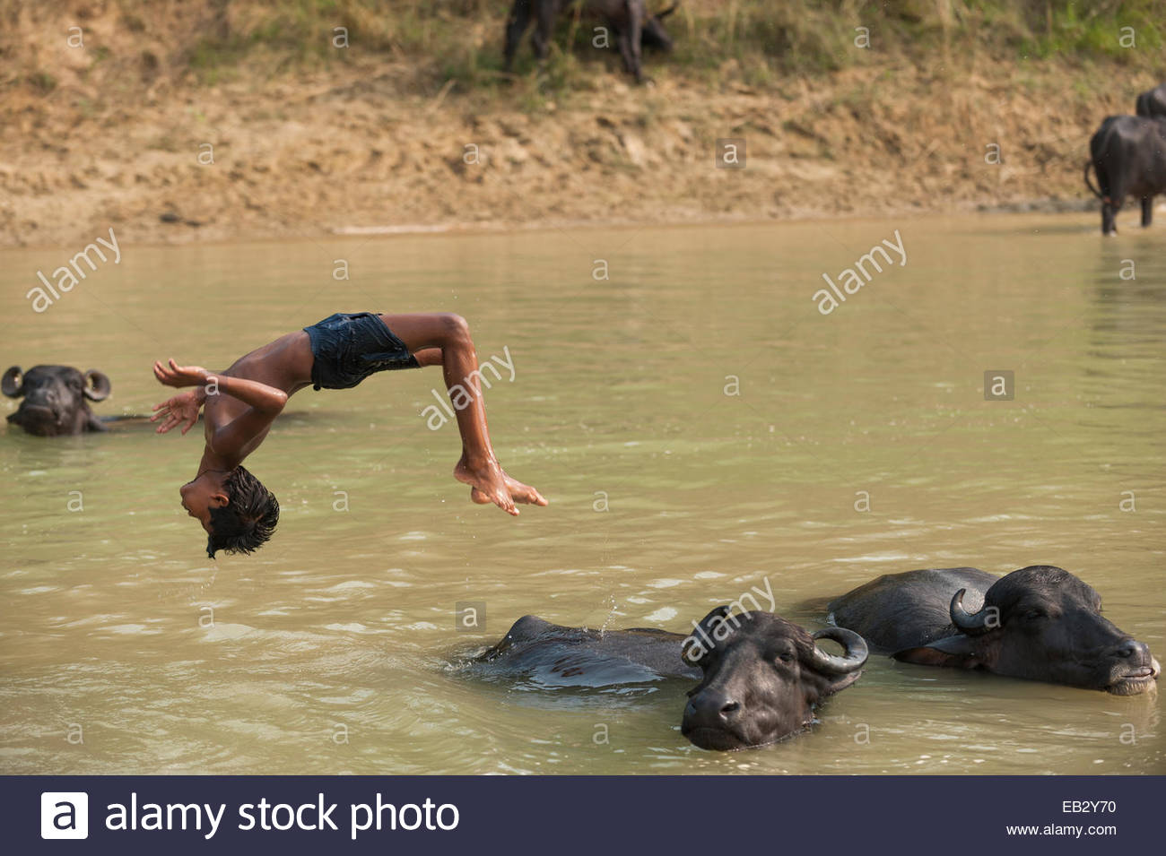 A boy messing about in the river diving from the back of a water buffalo in Nepal - Stock Image