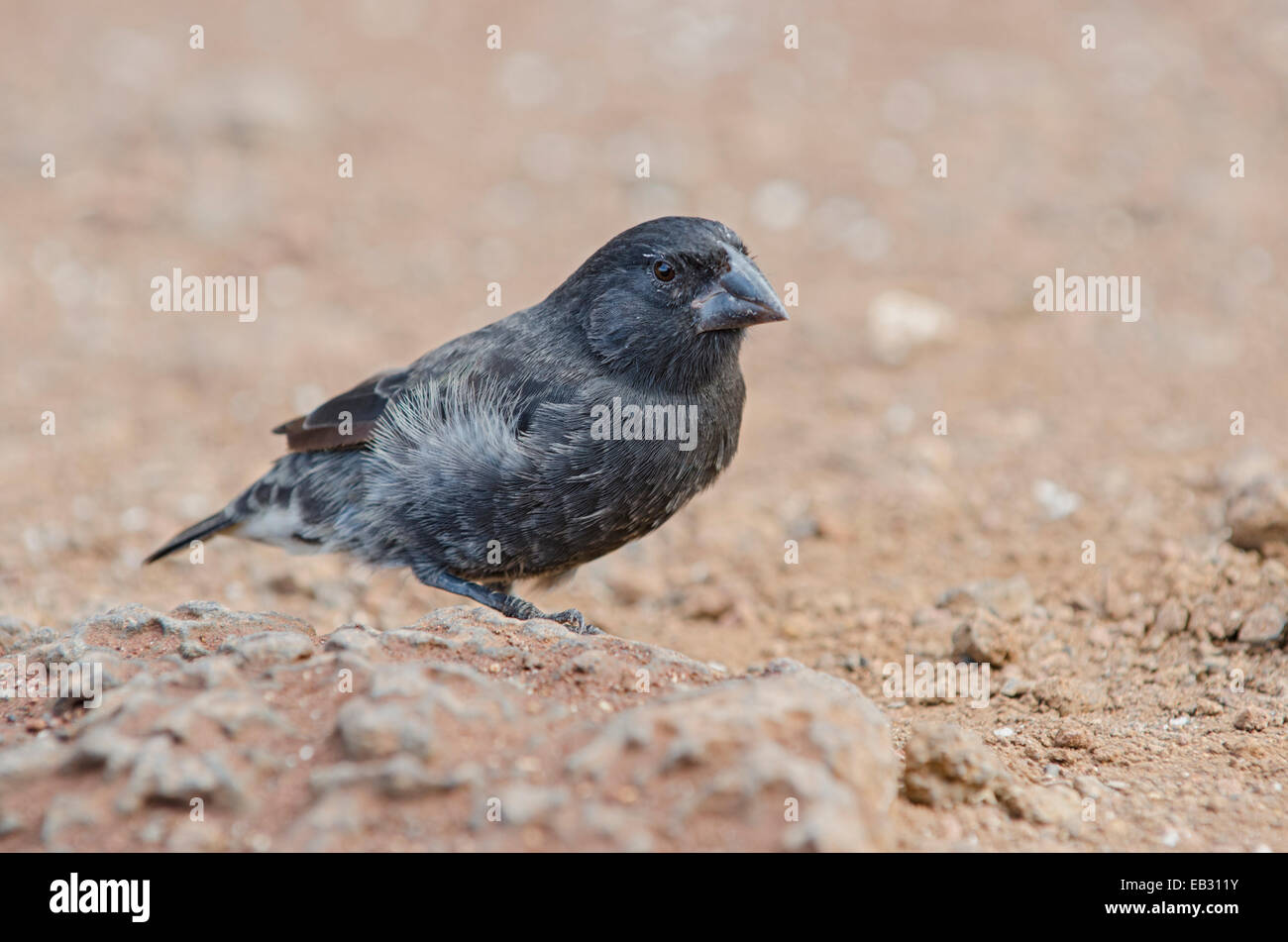 A male medium ground finch at the Charles Darwin Research Station in Puerto Ayora on  Santa Cruz Island in Galapagos - Stock Image