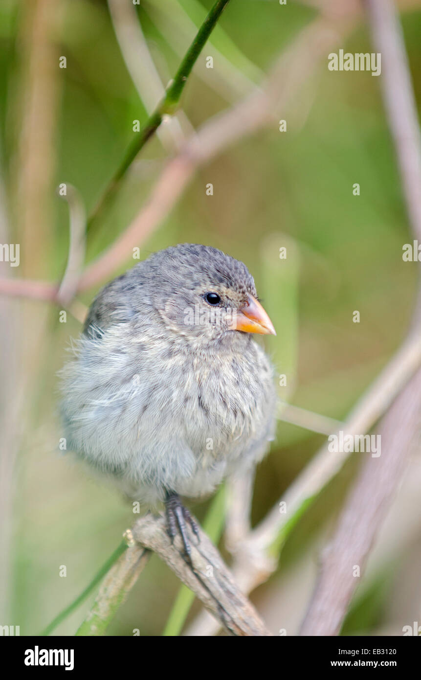 A female small ground finch at the Charles Darwin Research Station in Puerto Ayora on  Santa Cruz Island in Galapagos - Stock Image