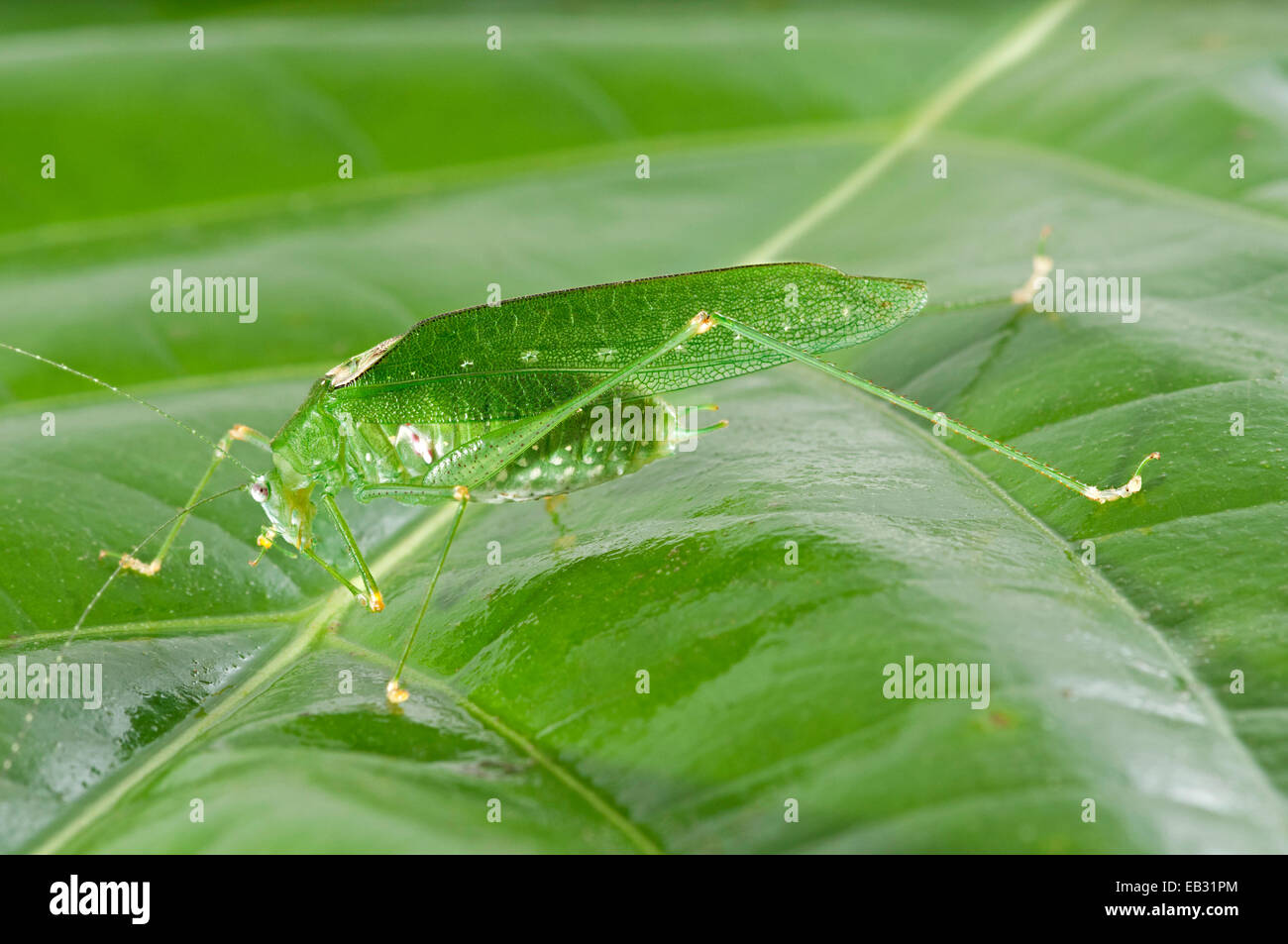 Green colour variant of the Oblong-winged Katydid (Amblycorypha oblongifolia), male, Tambopata Nature Reserve - Stock Image
