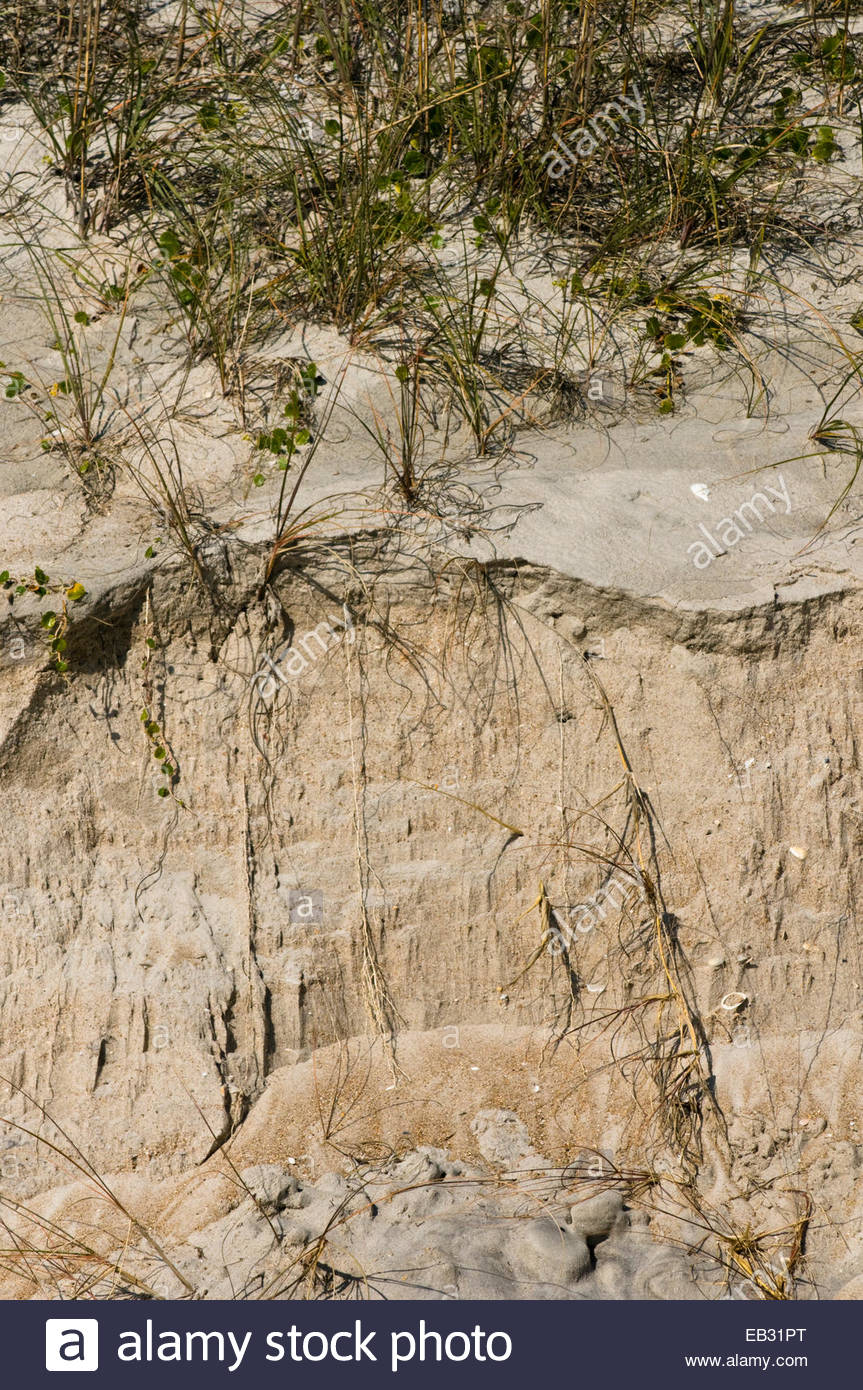 Grass roots emerge from an eroded sand dune. - Stock Image