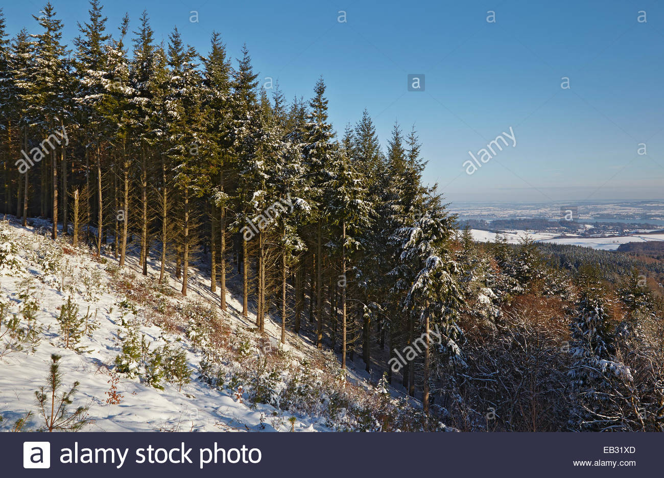 A conifer forest in deep snow, seen just before sunset, in the Haldon Hills near Exeter, Devon, Great Britain. - Stock Image