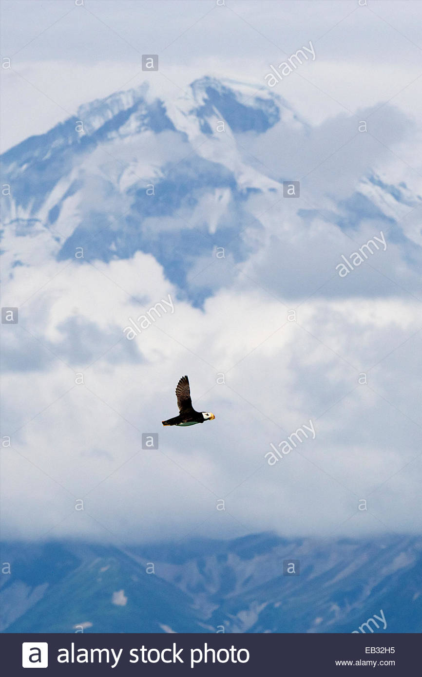 A horned puffin flies in front of Mt. ReDoubt volcano. - Stock Image