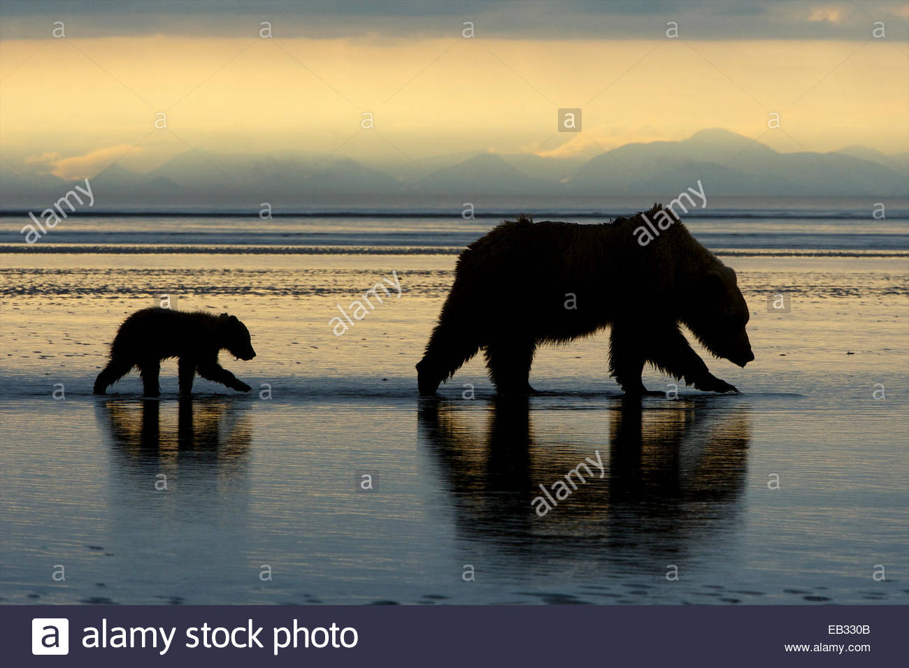 A grizzly bear cub follows right behind mom early in the morning. - Stock Image