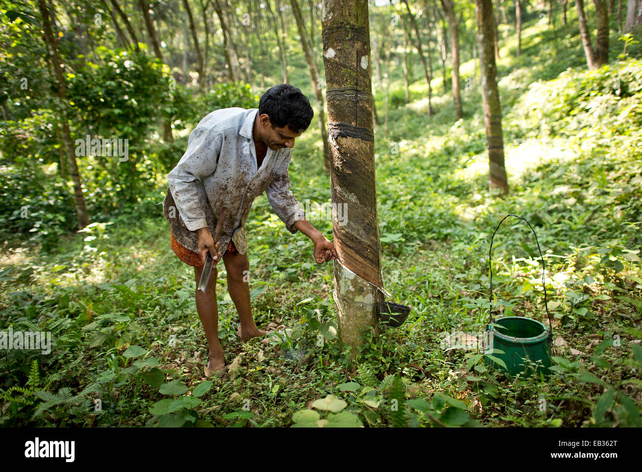 Man making an incision on a Rubber Tree (Hevea brasiliensis), on a natural rubber plantation, Peermade, Kerala, - Stock Image