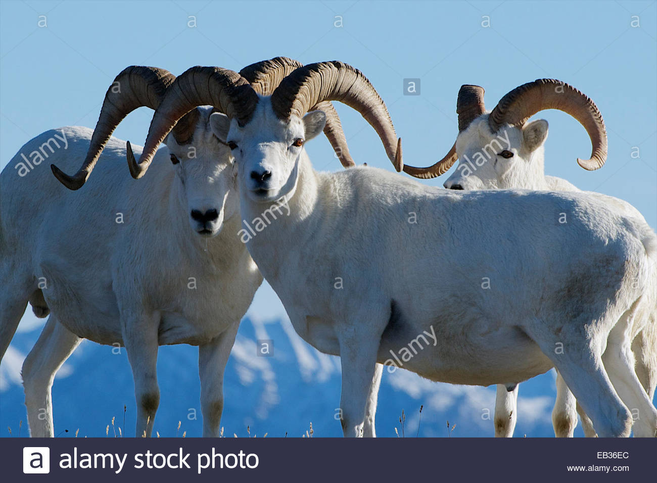 Male dall sheep stand closely together. - Stock Image