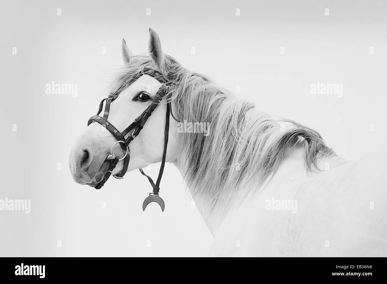 Beautiful Tersk stallion, black and white photo - Stock Image