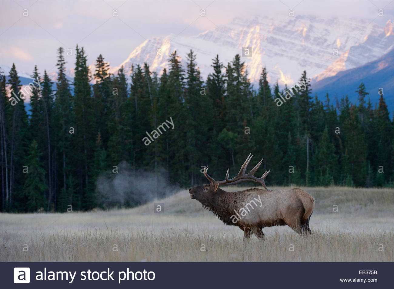 A bull elk breath shows as he calls in the mountains. - Stock Image