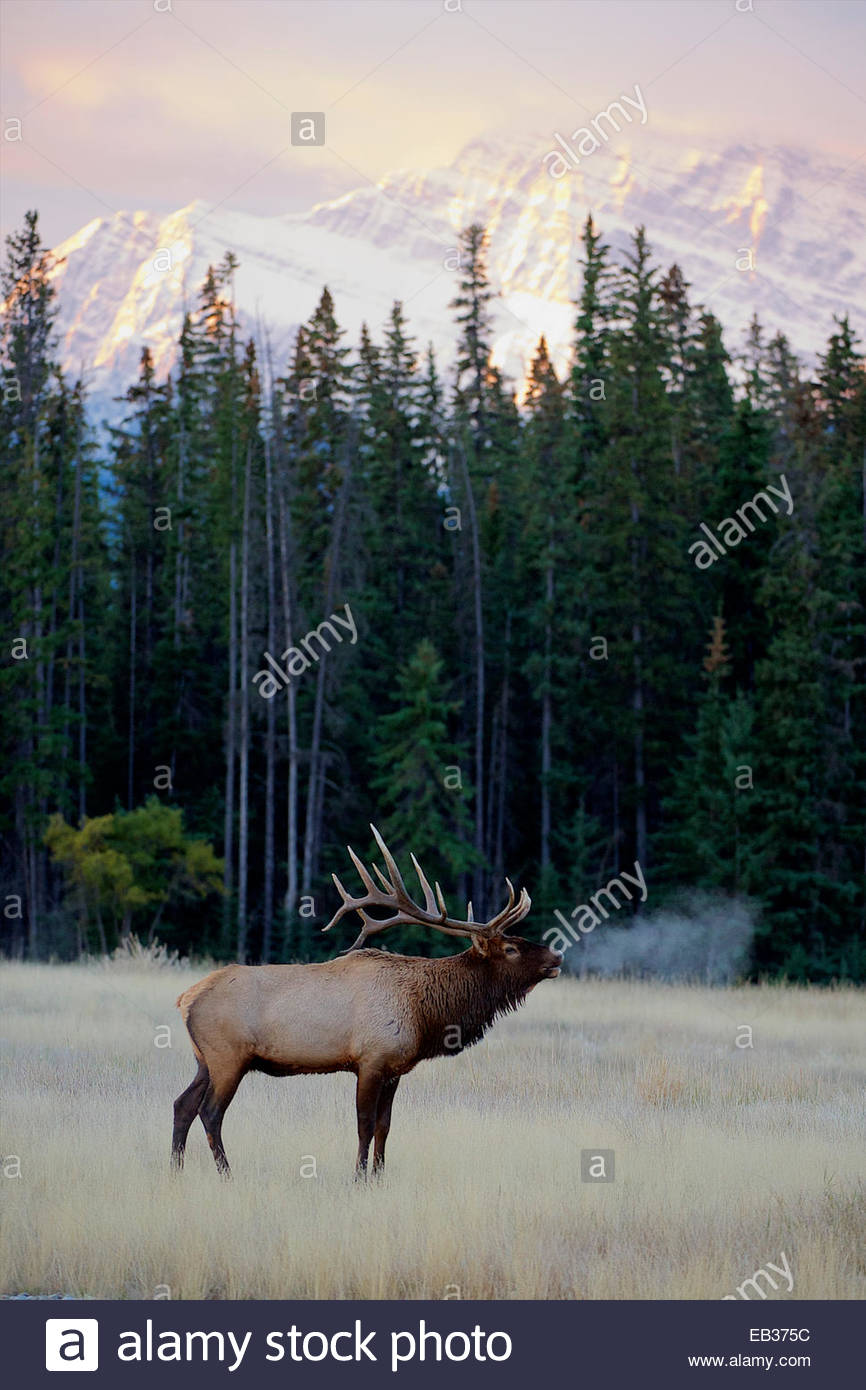 A bull elk calls out in the mountains. - Stock Image