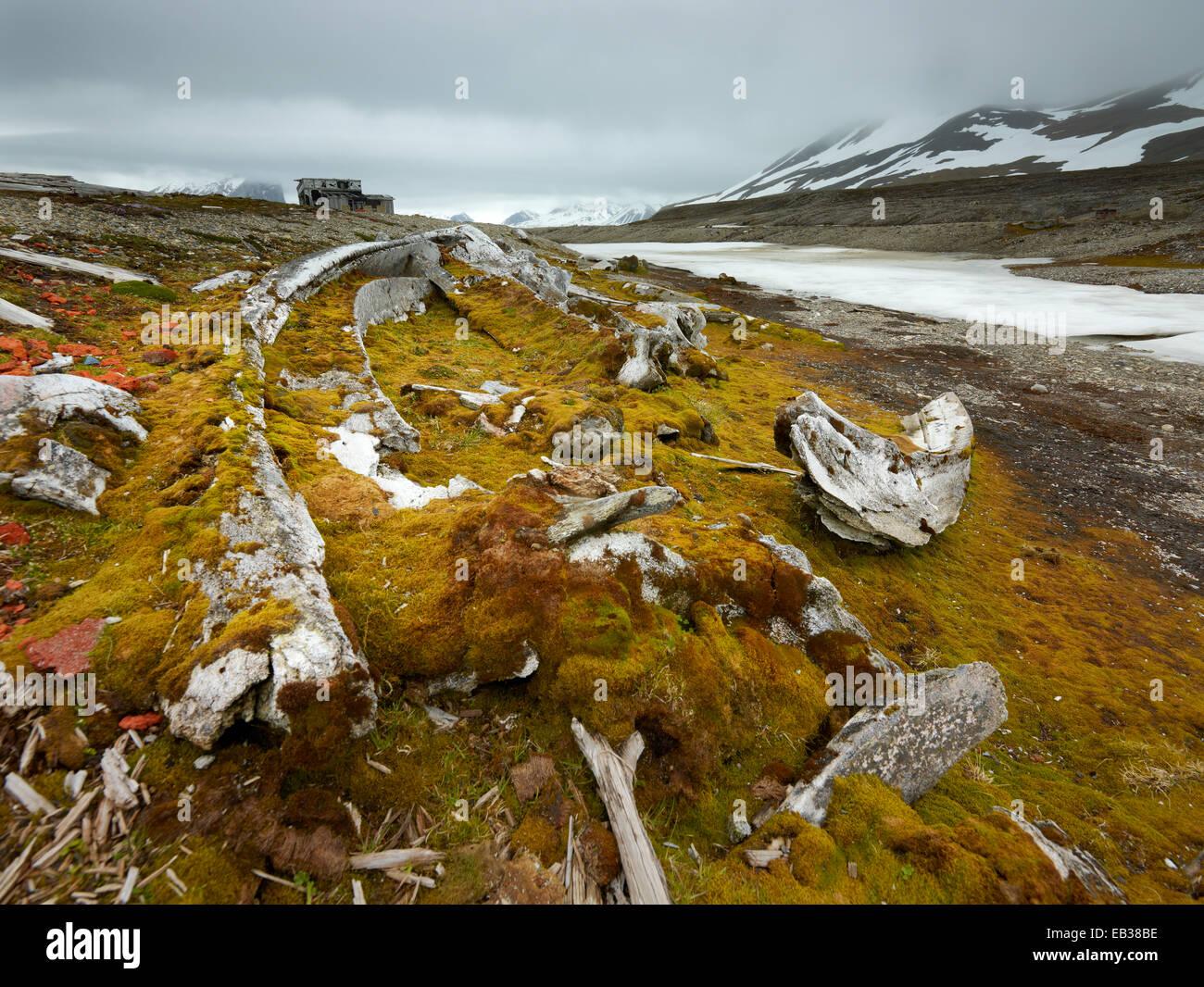 Old whale bones, overgrown with moss, Spitsbergen Island, Svalbard Archipelago, Svalbard and Jan Mayen, Norway - Stock Image