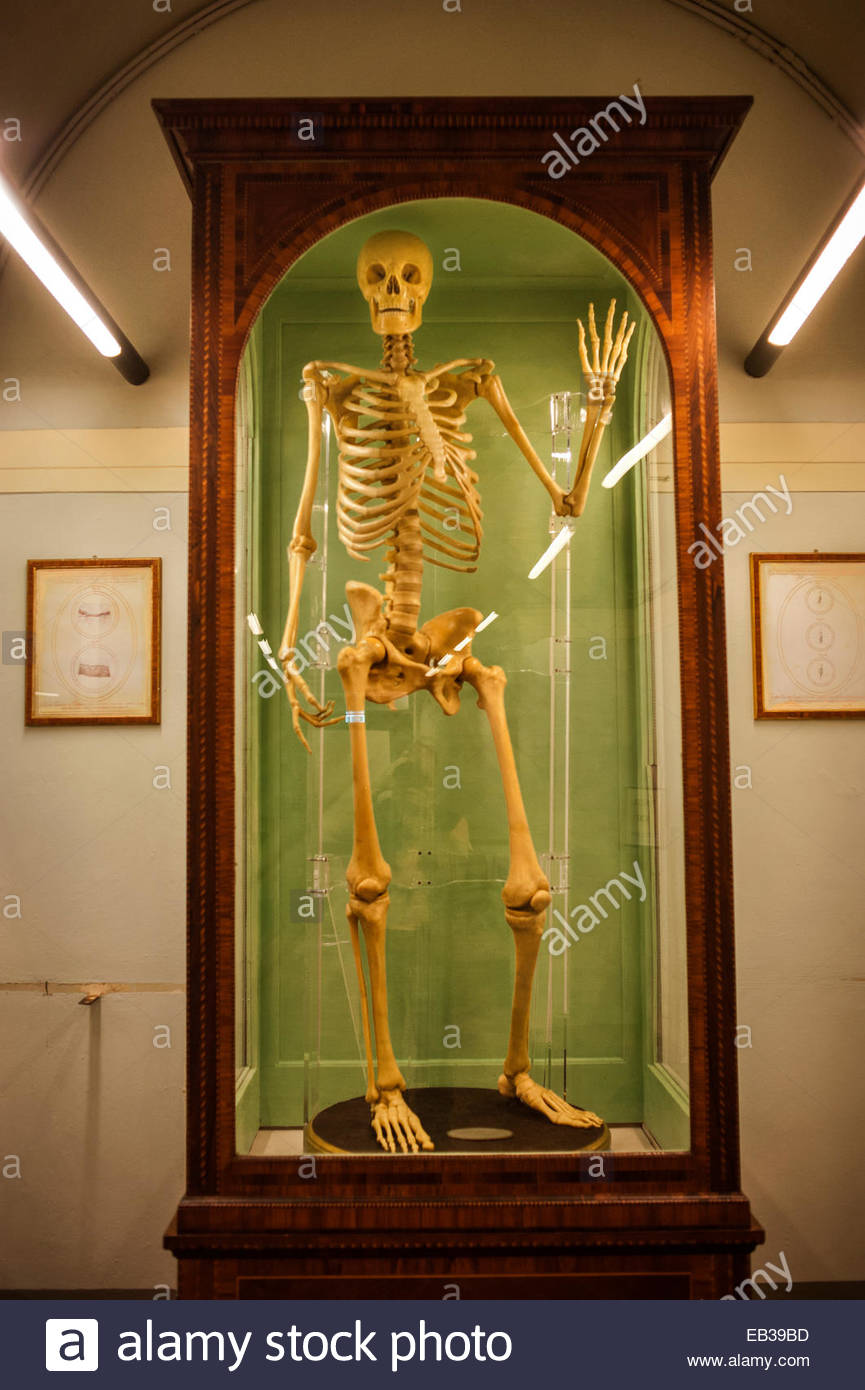 A human skeleton in a glass case in the Museum of Zoology and Natural History, Museo di Storia Naturale 'La - Stock Image