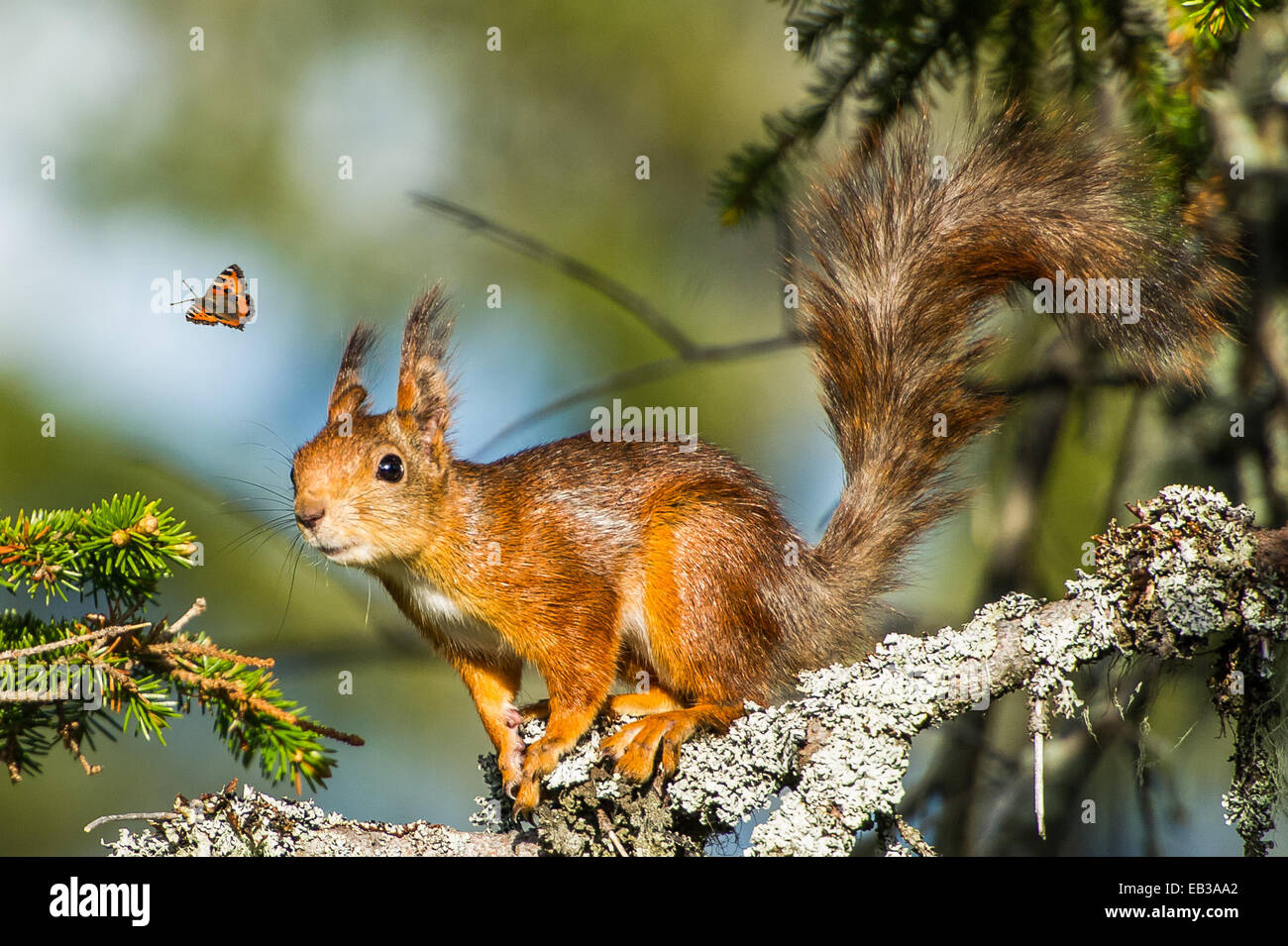 Squirrel looking at flying butterfly Stock Photo