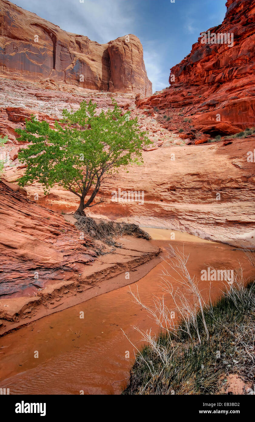 USA, Utah, Glen Canyon National Recreation Area, Lone Tree in Coyote Gulch - Stock Image