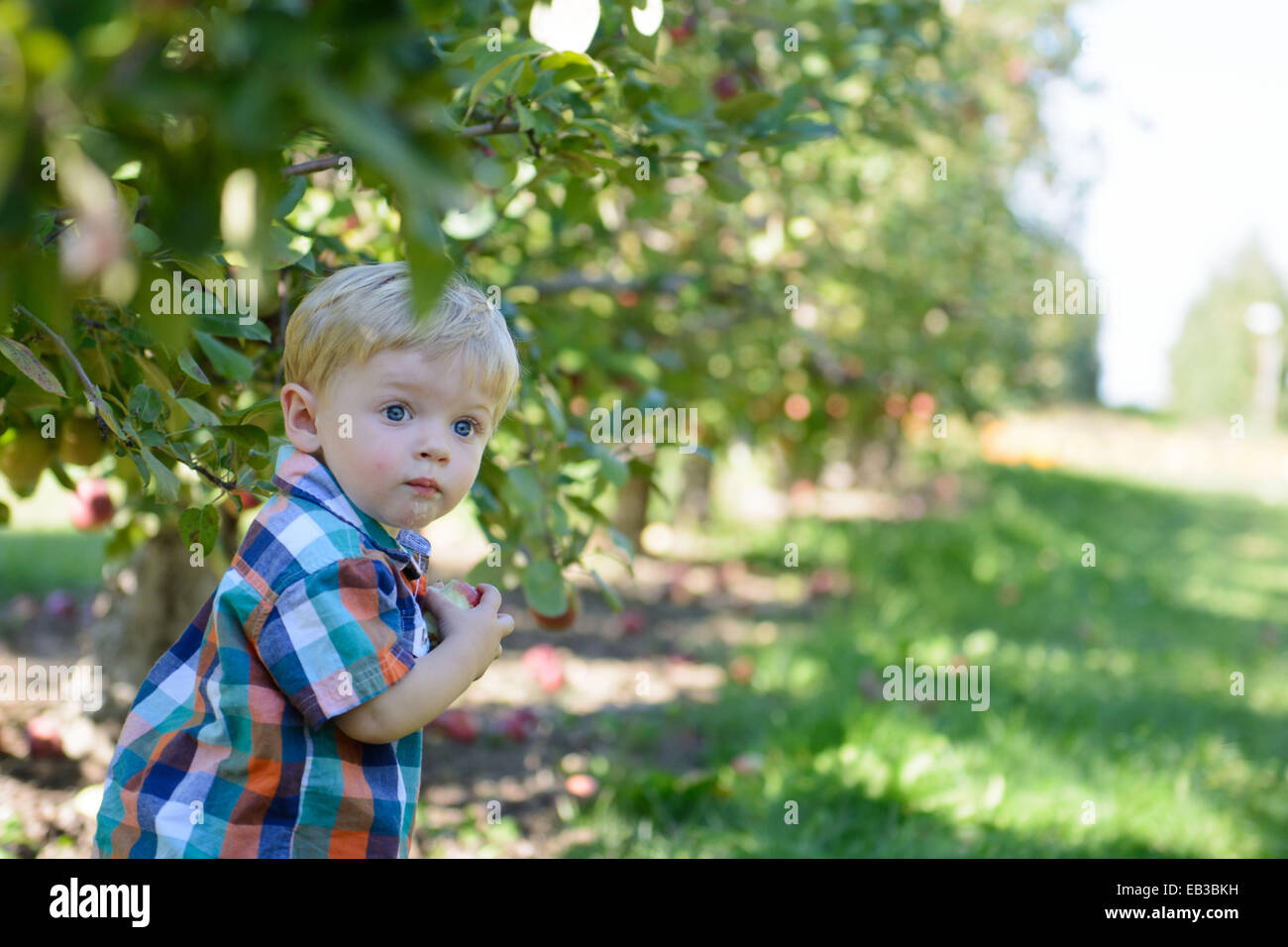 Boy in an orchard picking apples - Stock Image
