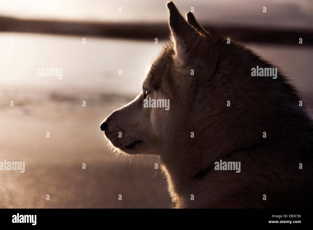 Iceland, Husky dog looking away - Stock Image