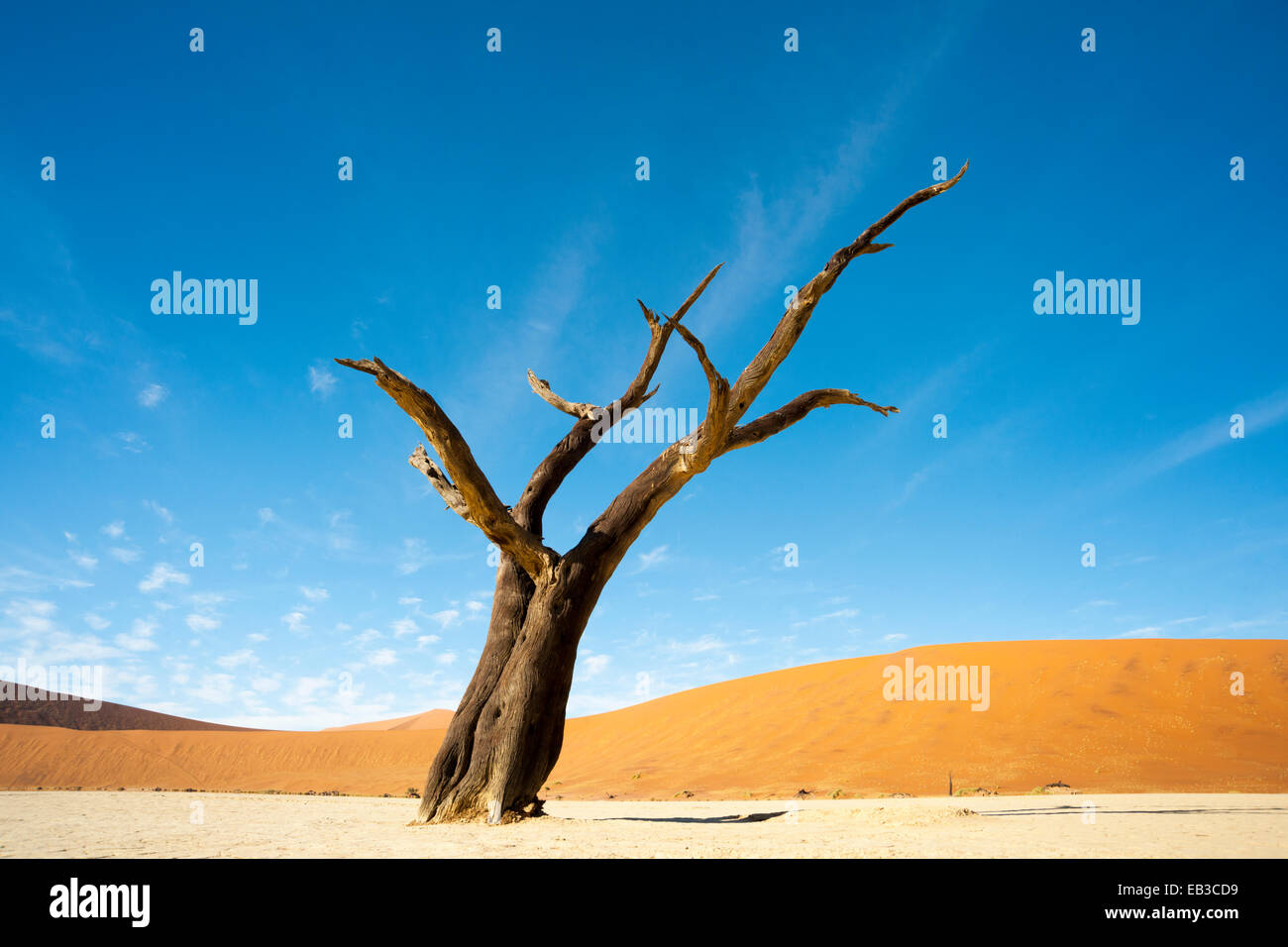 Dead Camel Thorn (Acacia erioloba) on the clay surface in the deadvlei, Namibia. - Stock Image