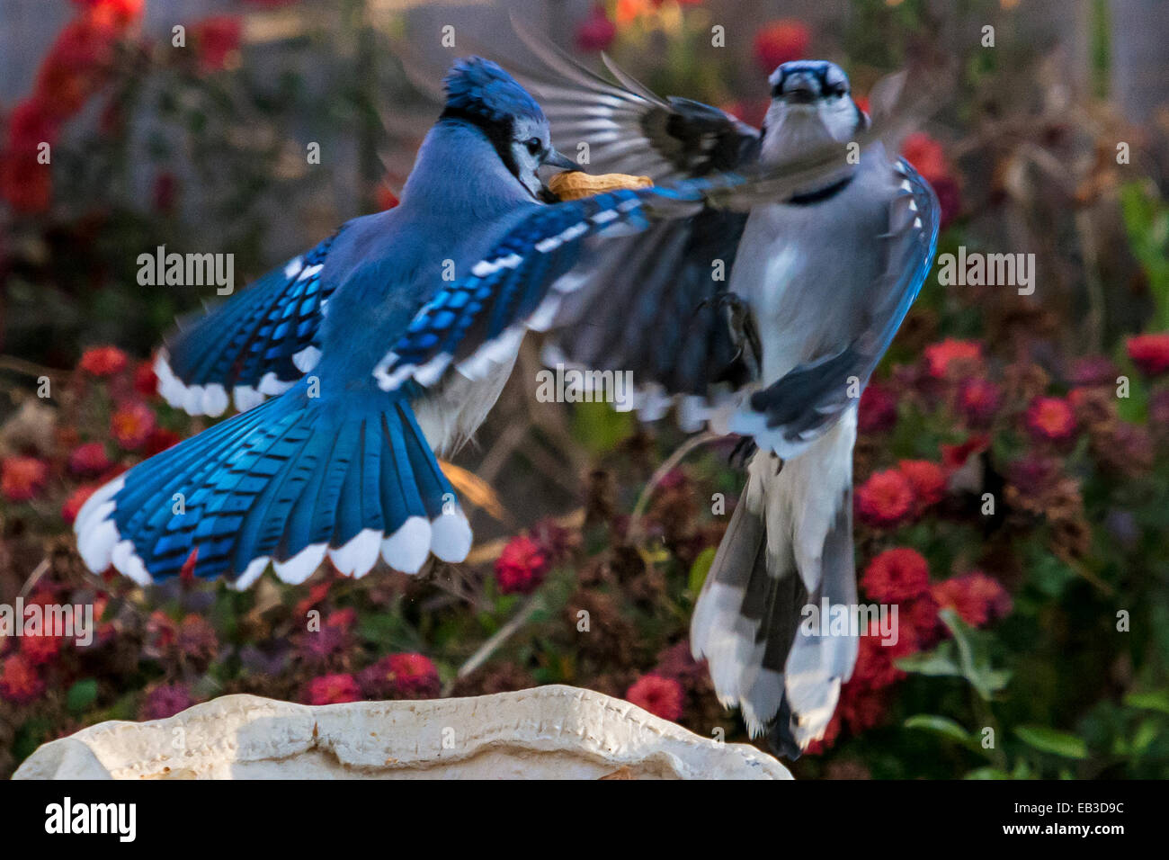 Two blue jays battle it out over peanut Stock Photo