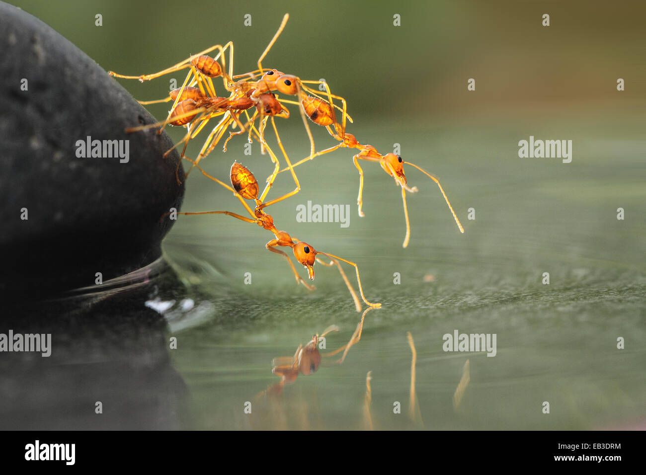 Ants helping each other - Stock Image
