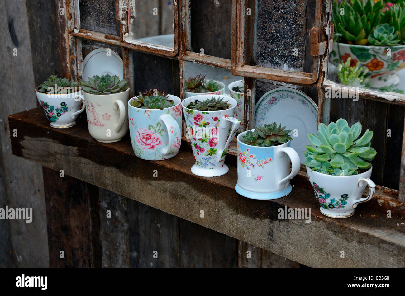 Decorative garden feature using mugs with cactus and old window frame - Stock Image