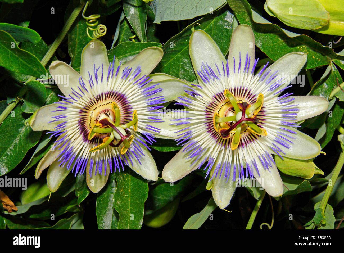 Blue Passion Flower Or Common Passion Flower Passiflora Caerulea