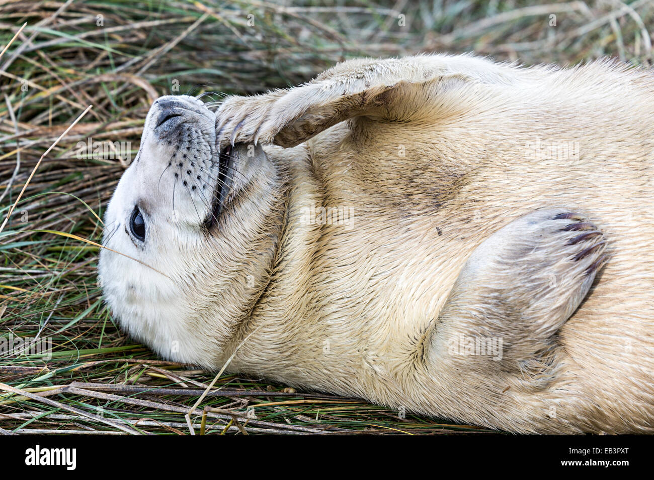 Grey seal pup, Halichoerus grypus, Donna Nook national nature reserve, Lincolnshire, England, UK Stock Photo