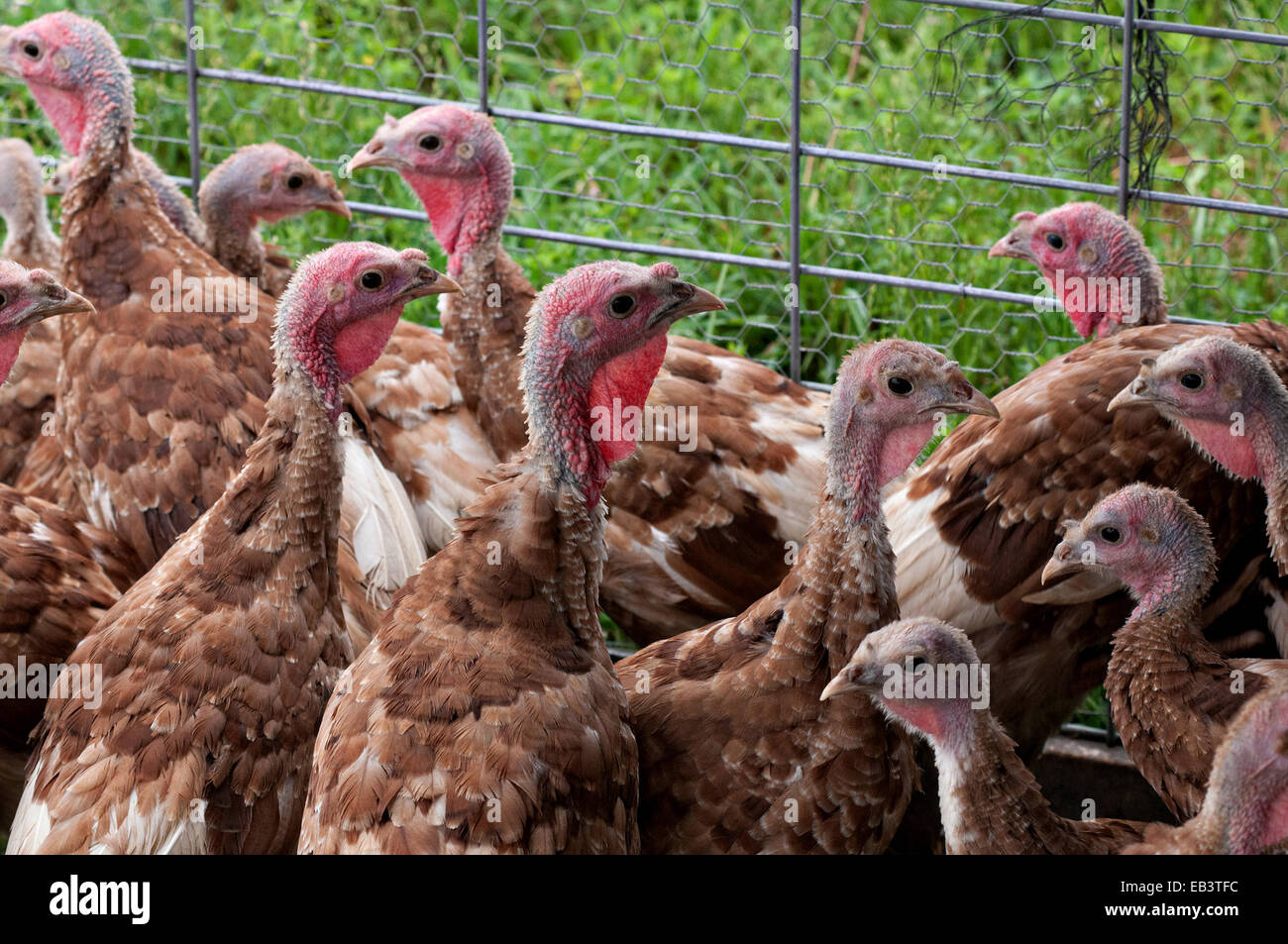 Turkey poults on the Ekonk Turkey Farm November 24, 2014 in Moosup, CT. More than 46 million turkeys will be consumed - Stock Image
