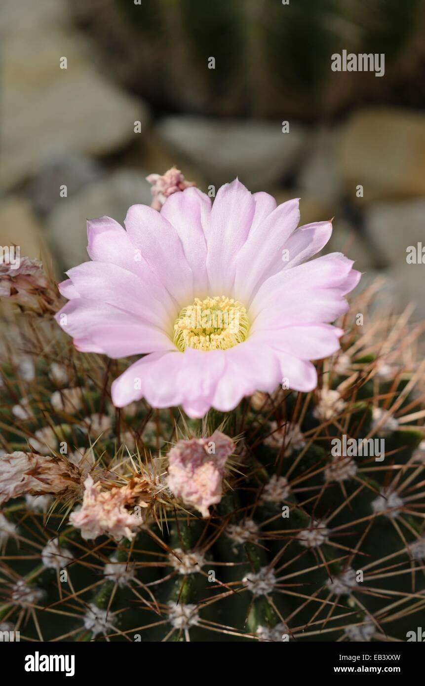 Acanthocalycium Spiniflorum Stock Photo 75689681 Alamy