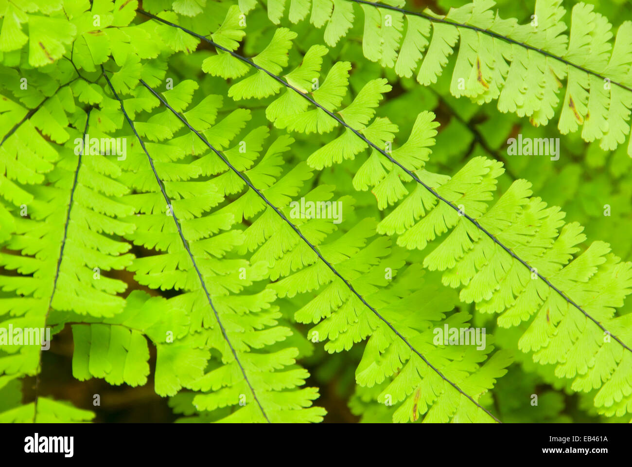 Five-finger fern along Hatton Loop Trail, Jedediah Smith Redwoods State Park, Redwood National Park, California - Stock Image