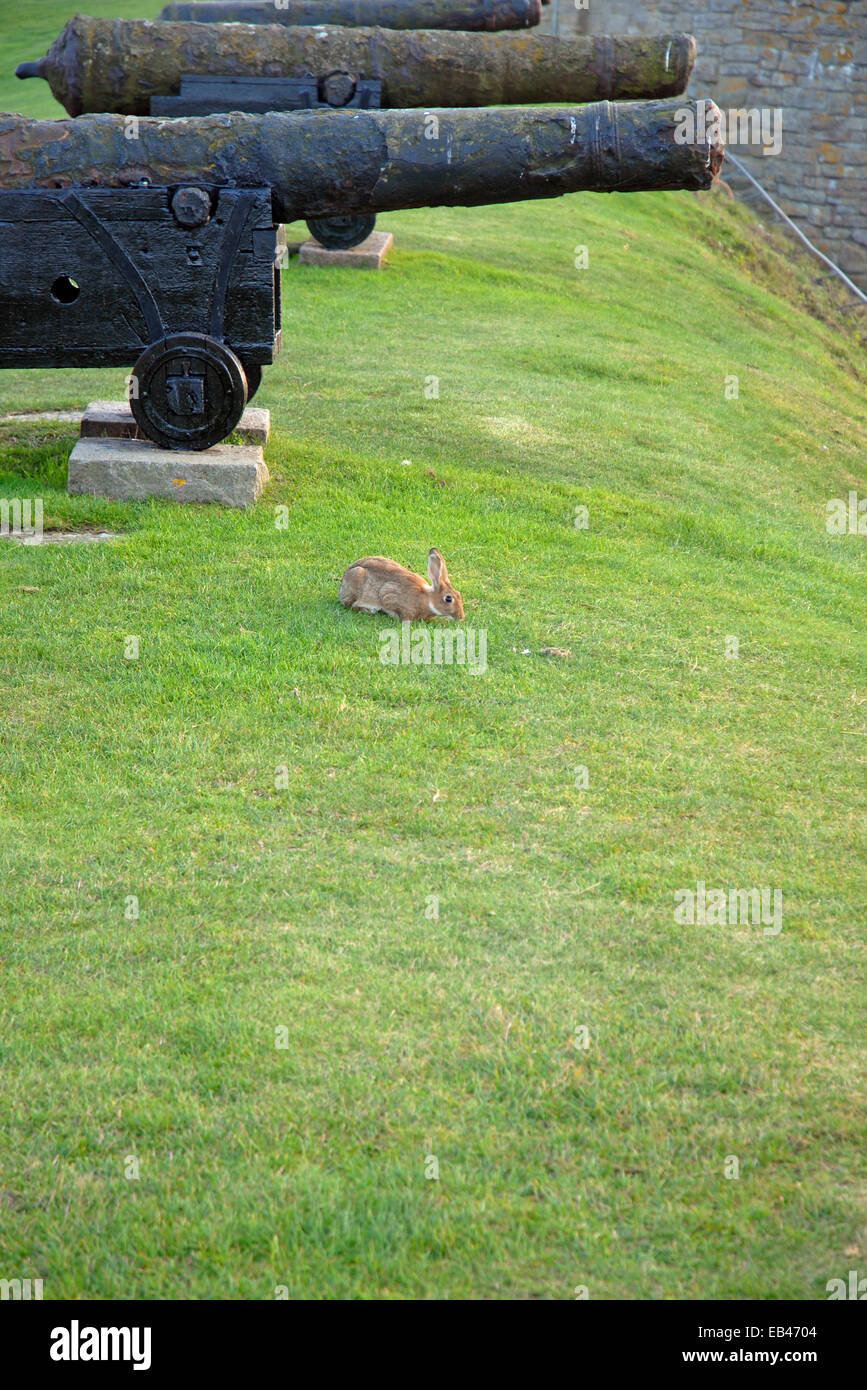old cannons with rabbit in Kalmar castle, Sweden - Stock Image
