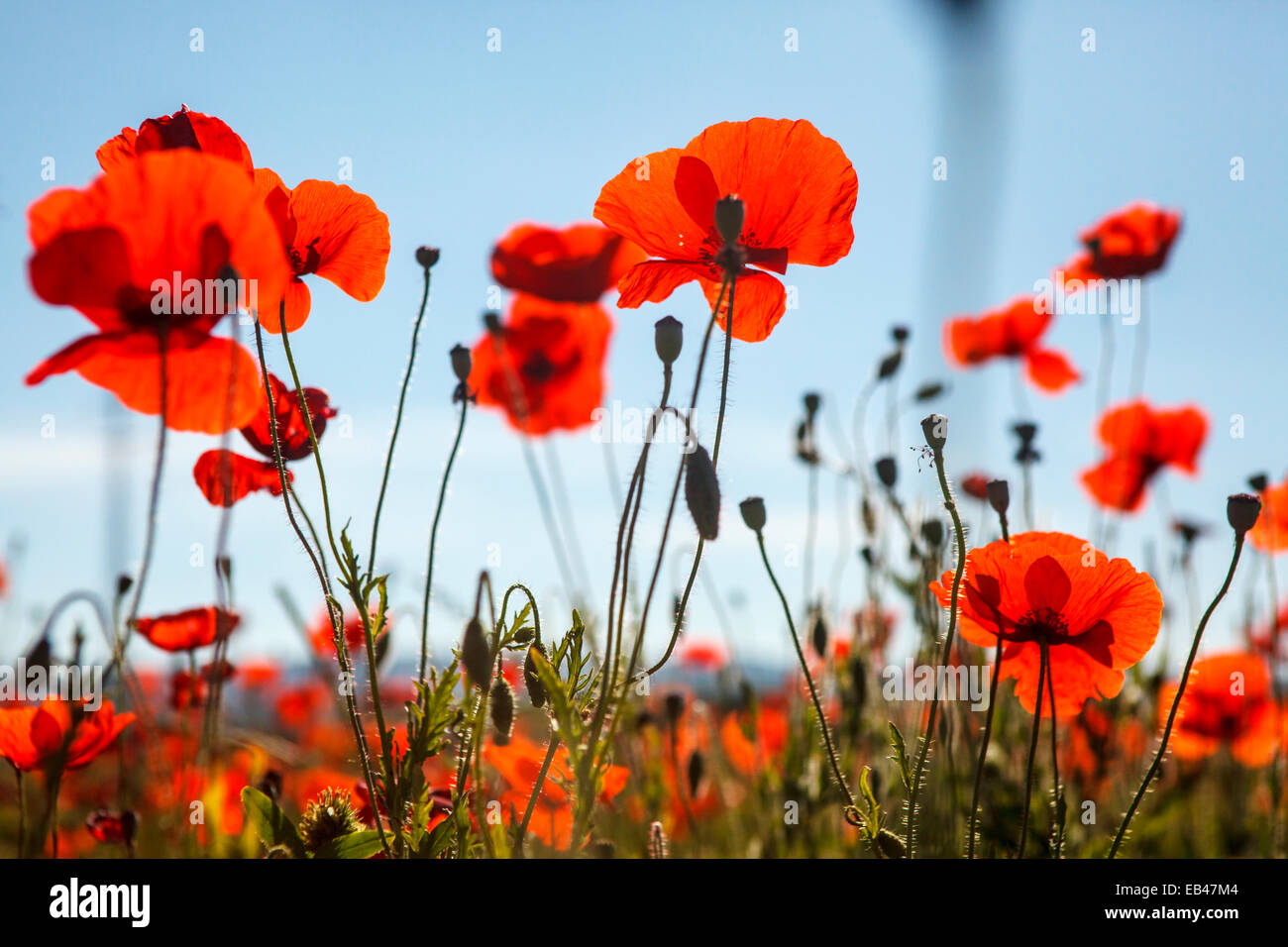 Endless field with flowering red poppies. Photographed in Italy, Tuscany - Stock Image