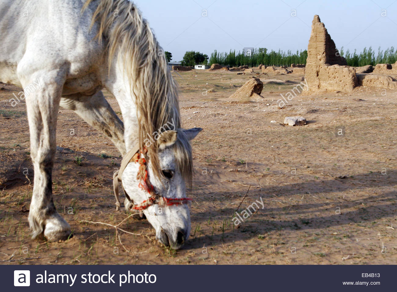 A horse grazing on sparse vegetation on dry land in China's Hebei Province. - Stock Image