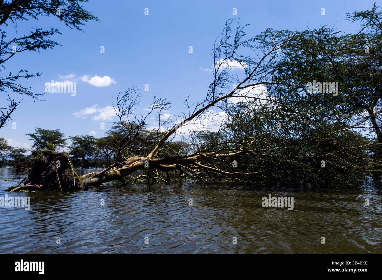 An Acacia tree toppled over by flood waters in a freshwater lake. Stock Photo
