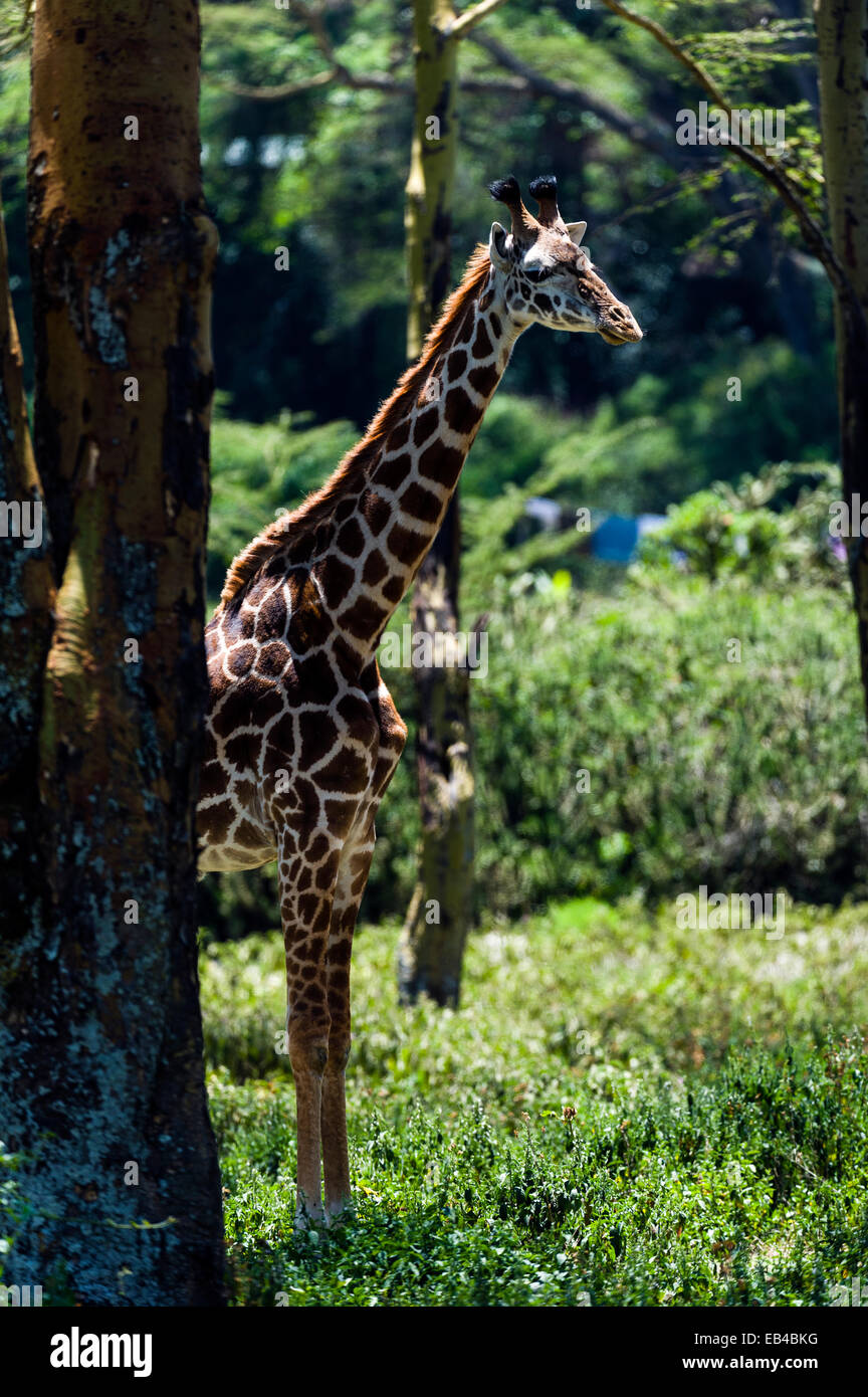 A Maasai giraffe resting in the shade from the heat of the day in a woodland forest clearing. Stock Photo