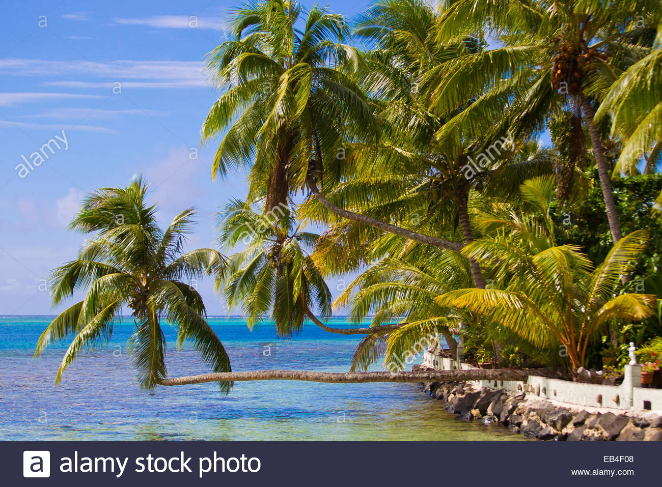 Horizontally-growing palm trees on the coast of the island of Moorea. - Stock Image