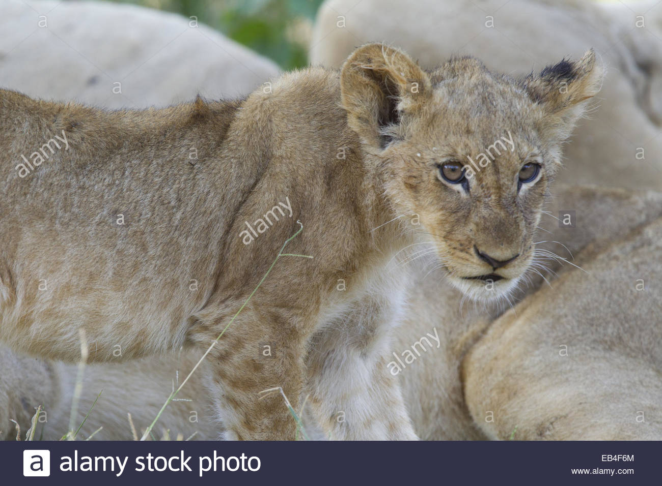 Portrait of a of juvenile lion, Panthera leo, among resting adults. - Stock Image