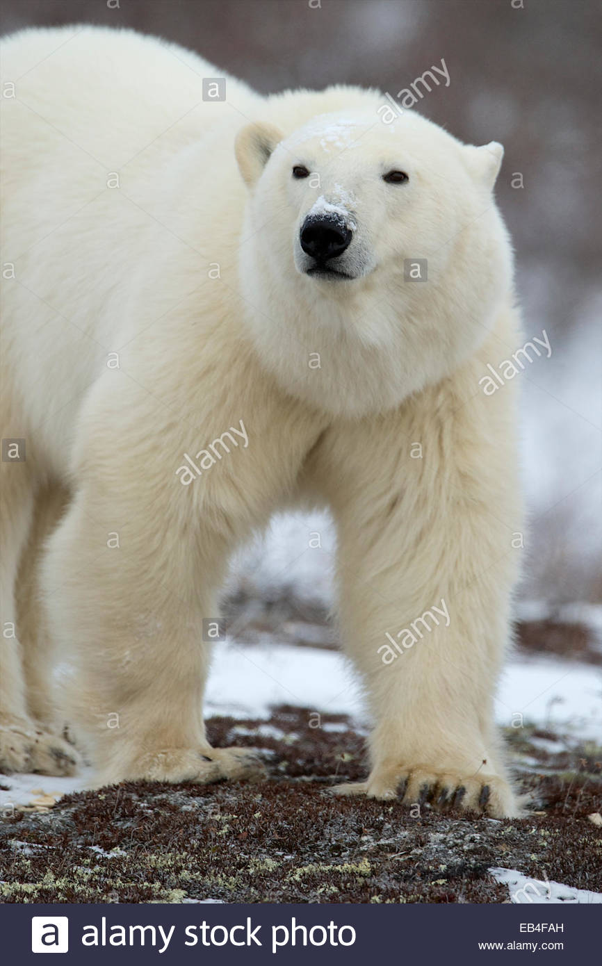 A polar bear raises its head as it sees another bear nearby. - Stock Image