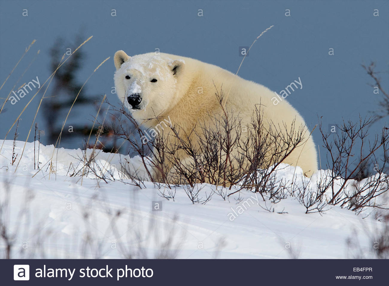 A polar take a break from its nap and looks around. - Stock Image