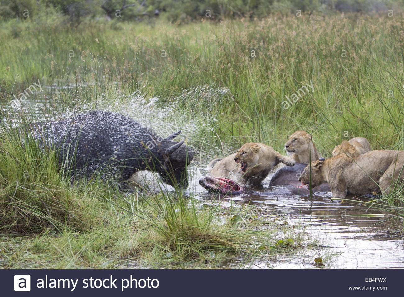 A Cape buffalo, Syncerus caffer, charging a group of African lions, Panthera leo, eating a freshly killed buffalo. - Stock Image