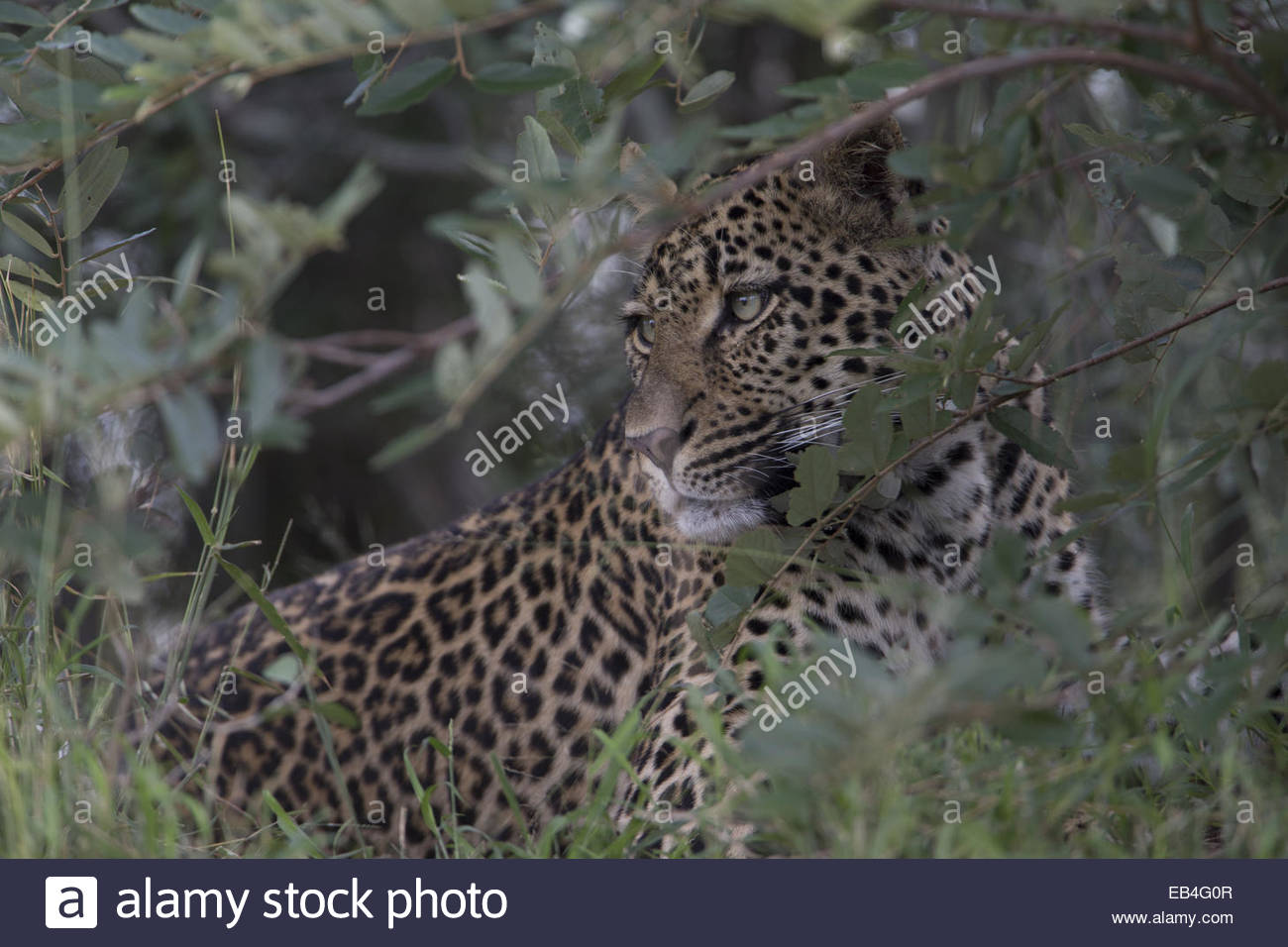 A leopard, Panthera pardus, concealed in shrubs. - Stock Image