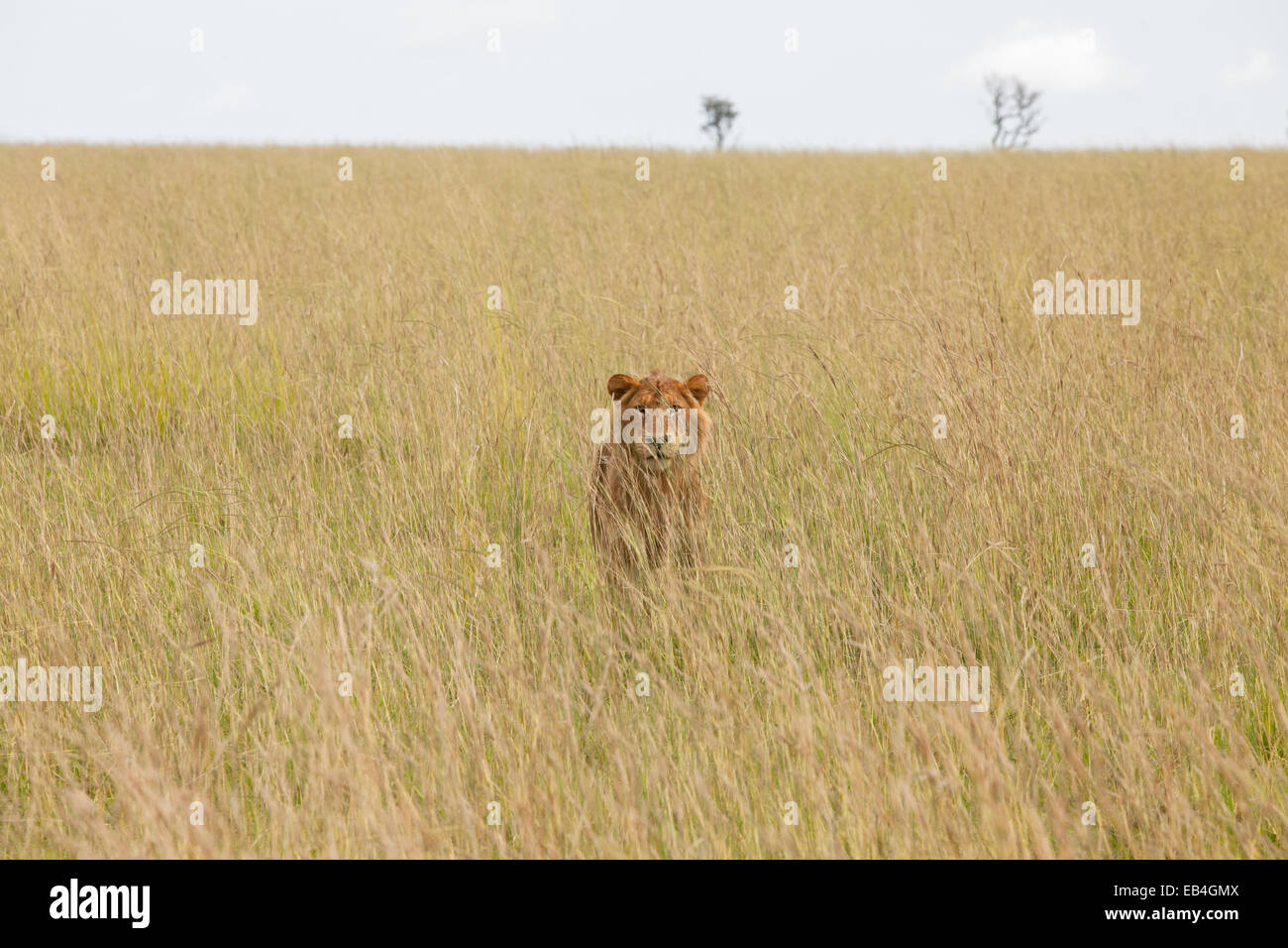 A female lion stands in tall grass, an effective camouflage. - Stock Image