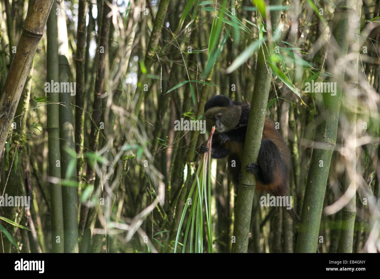 A golden monkey, Cercopithecus kandti, grips a bamboo shoot and eats vegetation. - Stock Image