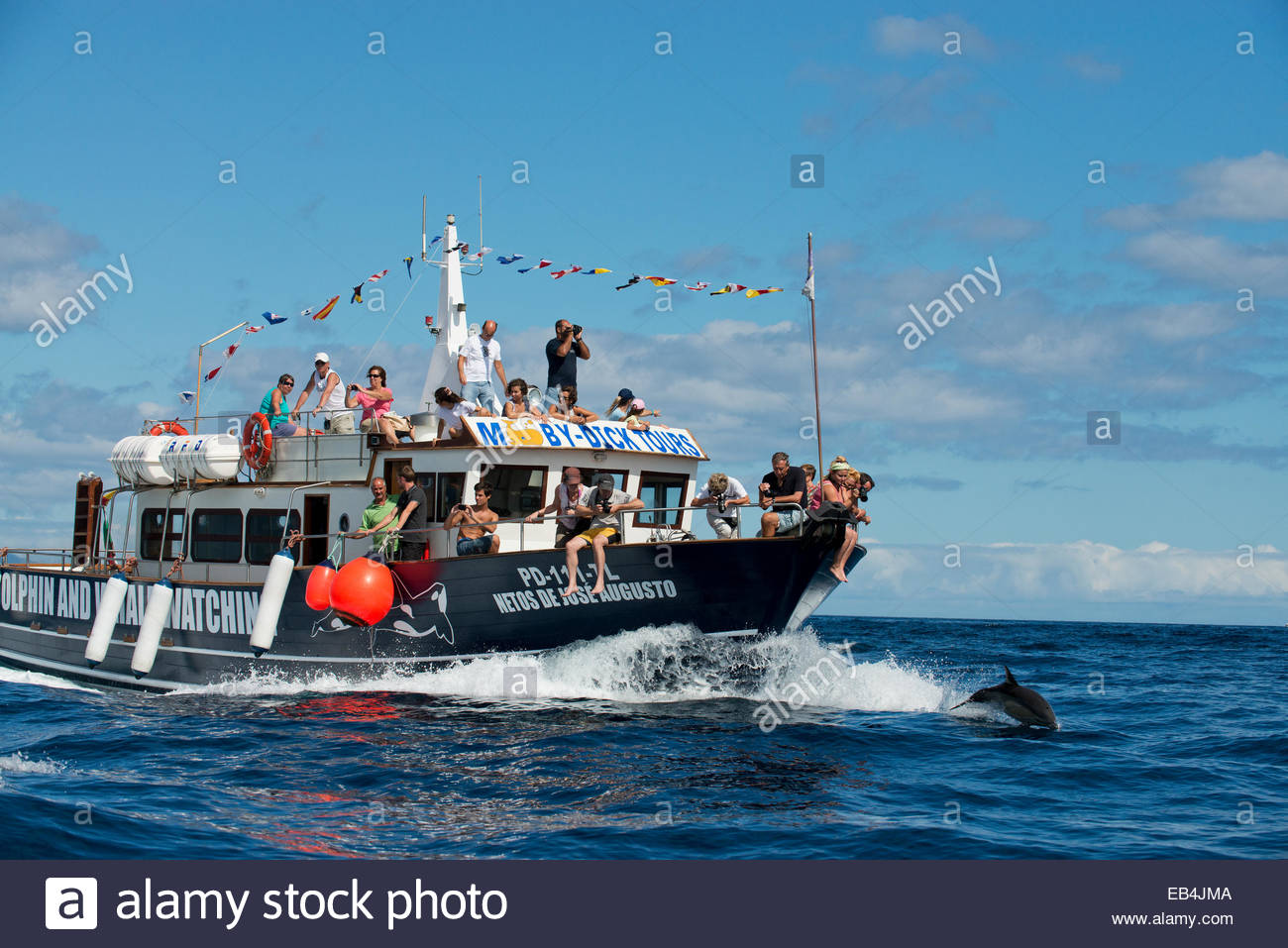 A common dolphin rides the wake of a whale watching boat. - Stock Image