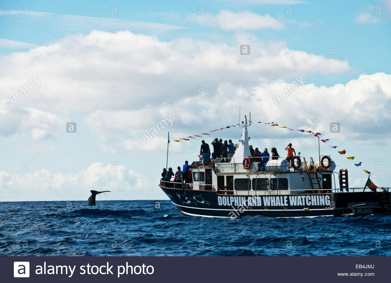 Whale watchers enjoy a moment where a sperm whale fluke rises above the surface of the ocean. - Stock Image