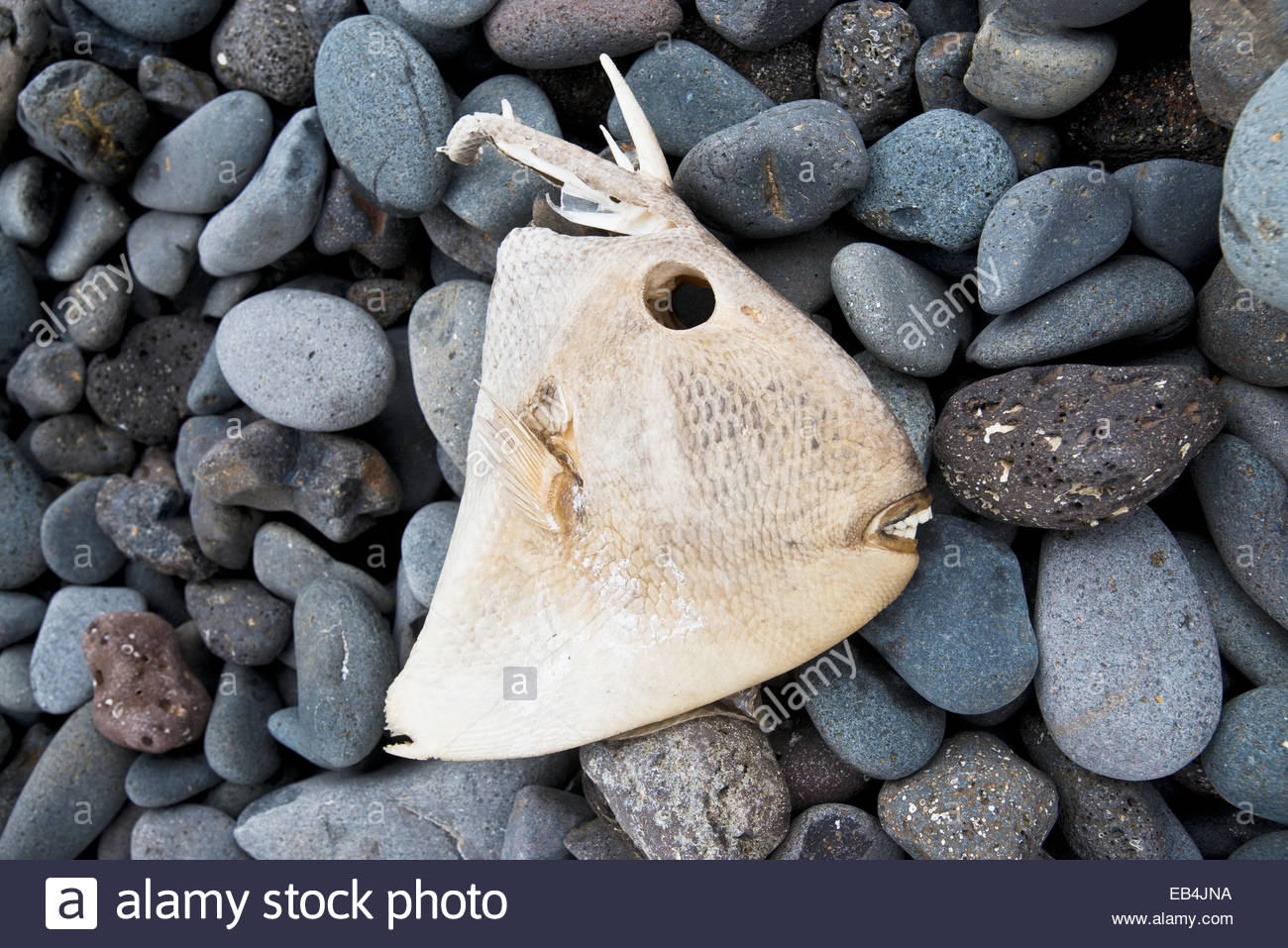 The skeletal remains of an oceanic triggerfish lie on a pebbled beach. - Stock Image