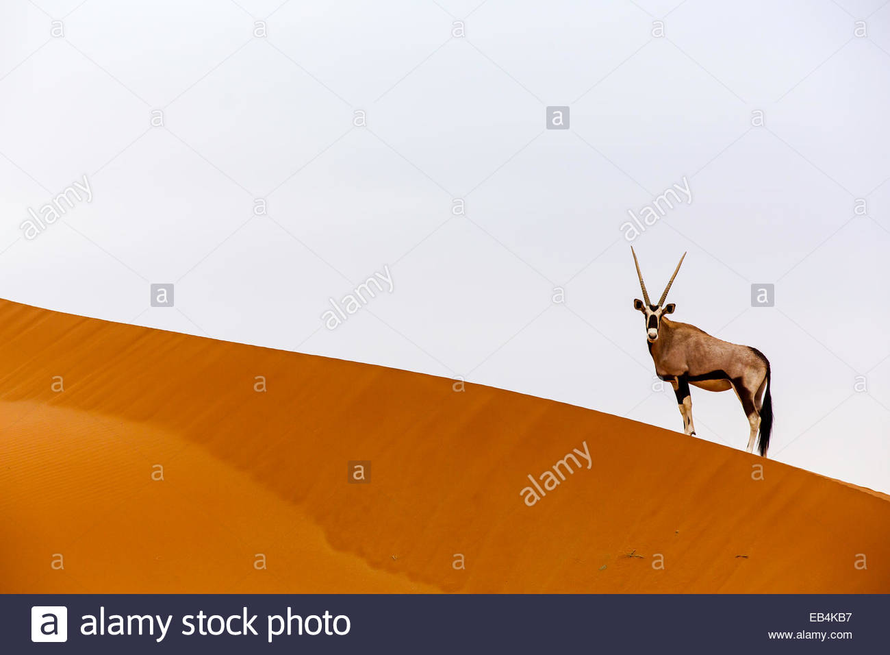 An oryx on the crest of an enormous sand dune in the Namib Desert. - Stock Image
