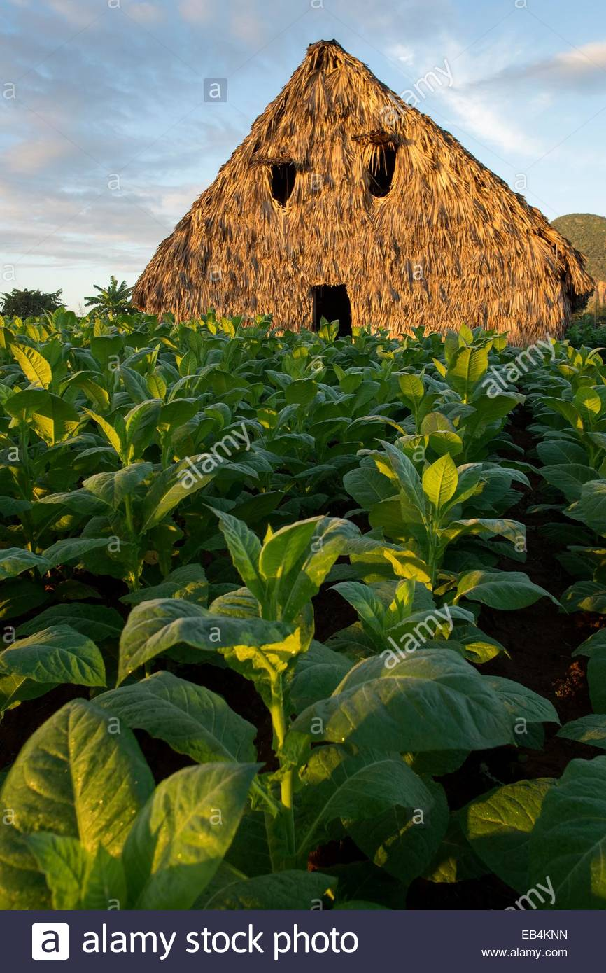 Tobacco growing next to a tobacco drying structure. - Stock Image