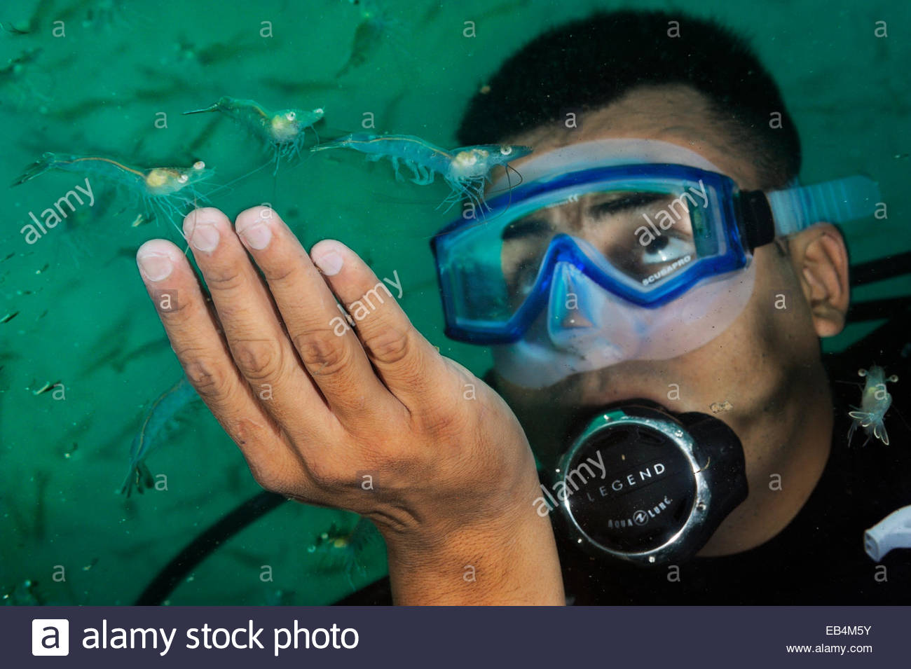 Shrimp grown in the Gulf of California are inspected. - Stock Image