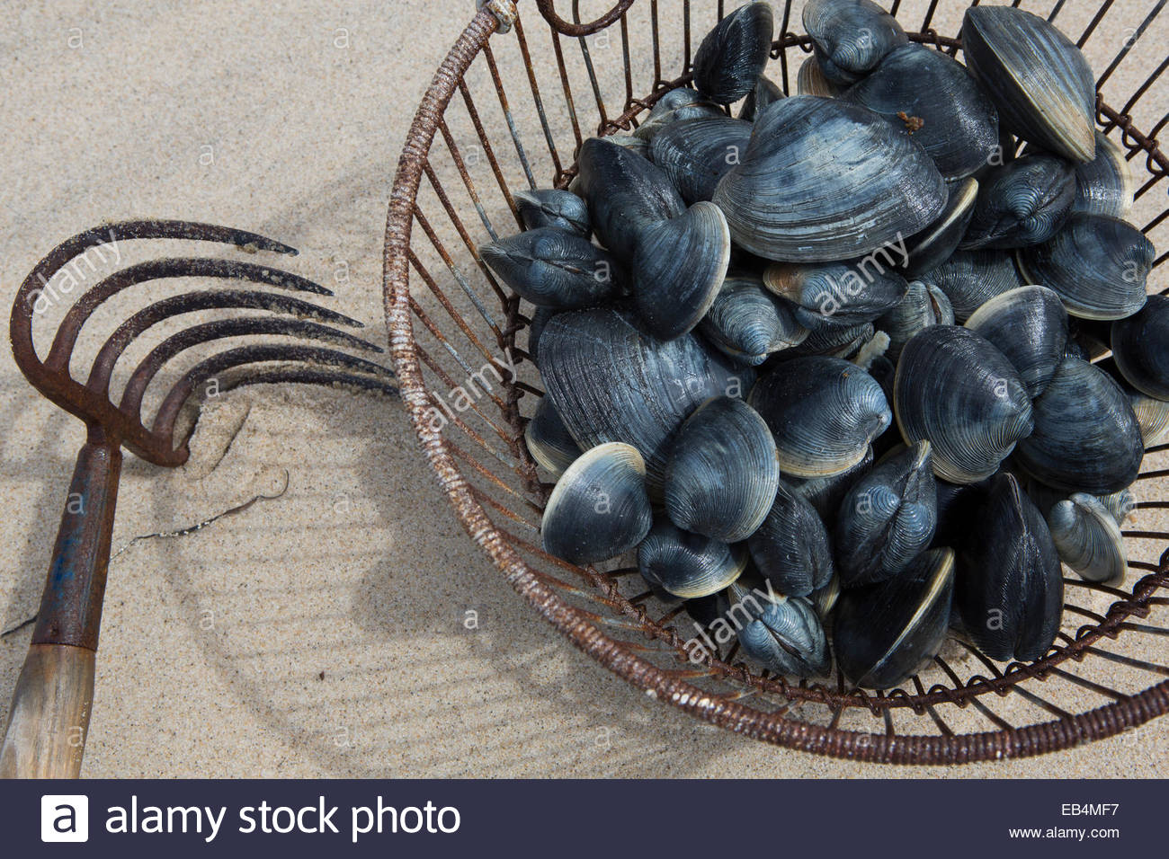 Clam digging at Nauset Beach yields a bucket of quahogs that might turn up later in a local chowder.    Surfers Stock Photo