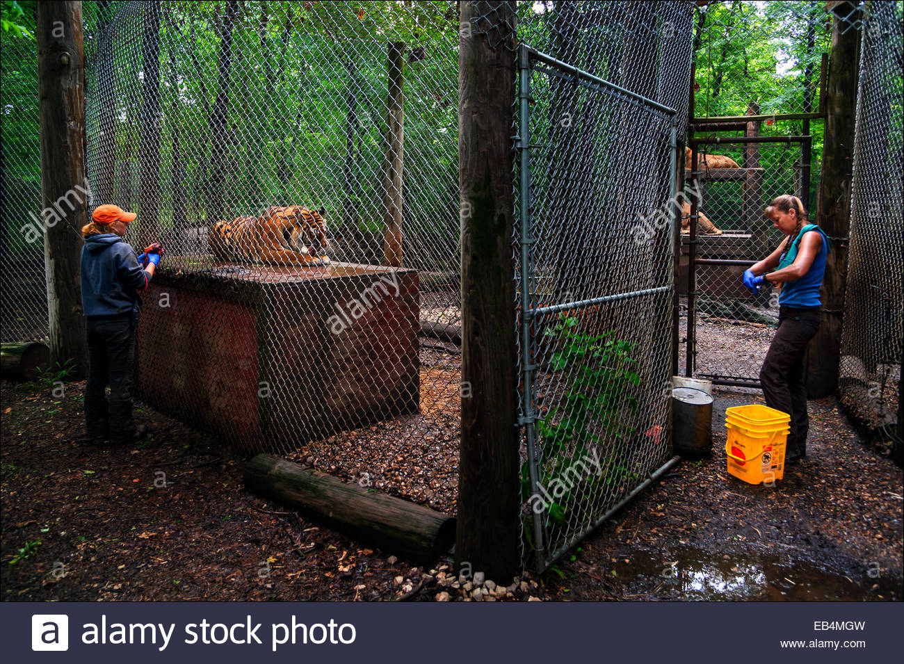 sanctuary staff prepare to feed caged tigers in forested enclosures